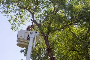 Dakota Electric lineman trimming trees